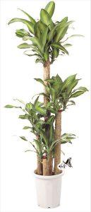 観葉植物 約180cm×約60cm(参考)