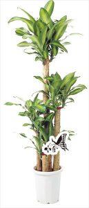 観葉植物 約140cm×約55cm(高陶器)(参考)
