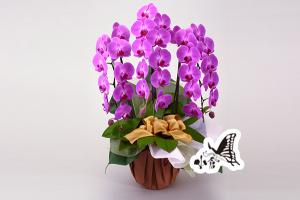 胡蝶蘭 約105cm×約60cm(42輪)(参考)