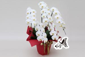 胡蝶蘭 約95cm×約70cm(5本立ち)※ラッピングは弔事用に変わります