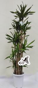 観葉植物 約110cm×約40cm